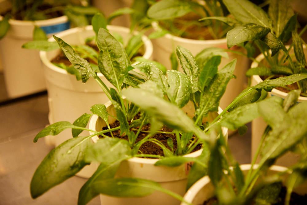 大学内の植物工場で栽培される、鉢植えのほうれん草の様子