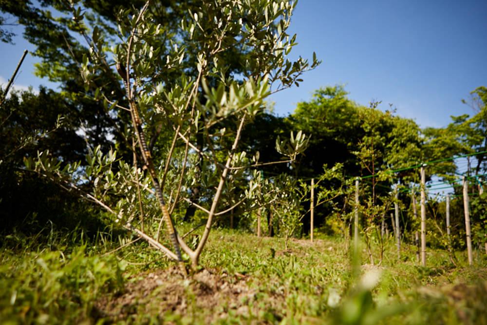 小豆島の自治体との共同研究で栽培しているオリーブの木